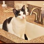 Hutch the Sink Cat